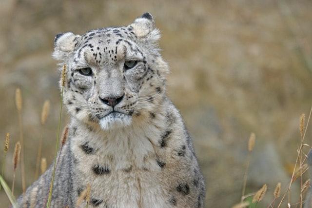 Todo lo que debes saber sobre el leopardo de las nieves